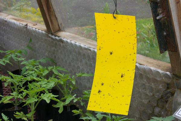 В борьбе с белокрылкой отлично зарекомендовали себя желтые липкие ловушки