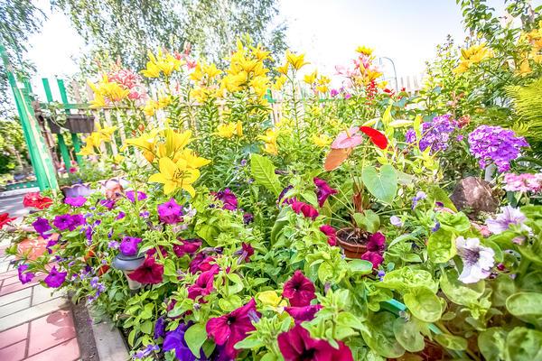 Ноги лилий прикроют какие-нибудь однолетние цветущие растения
