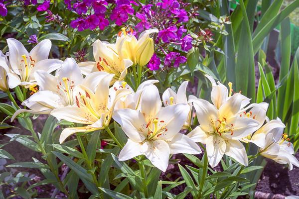 Яркие флоксы хороши с лилиями белых сортов