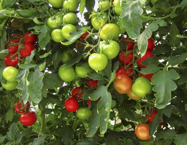 Август - пора массового созревания томатов