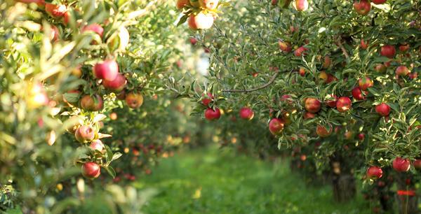 В садах поспевают яблоки