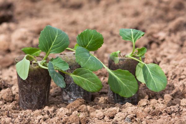 Рассаду поздней капусты пересаживают на грядку в возрасте 45-50 дней