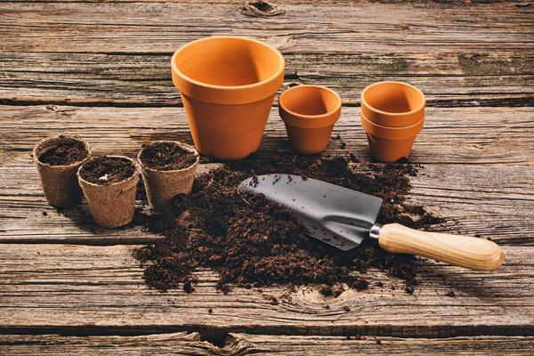 Семена лучше высевать в отдельные горшочки или кассеты