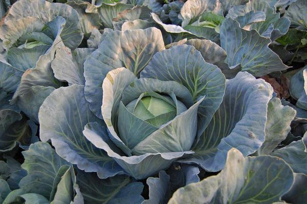 Позднеспелые сорта самые урожайные и лежкие