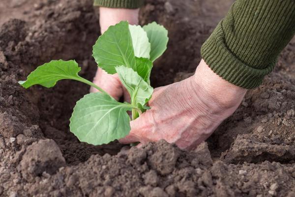 Высаживайте рассаду на грядку в пасмурную погоду или под вечер