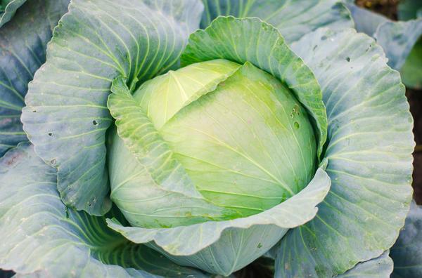 Белокочанную капусту называют огородной барыней