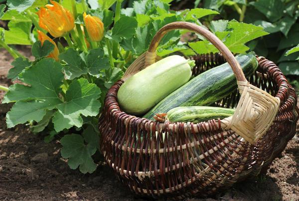 Какие сорта и гибриды вкусные и урожайные?