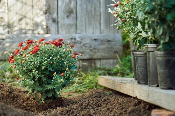 прищипка рассады хризантем