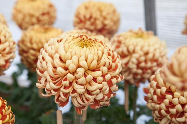 В зависимости от сорта стебли достигают высоты 30-80 см и украшены махровыми, полумахровыми и простыми соцветиями необычайно разнообразных оттенков