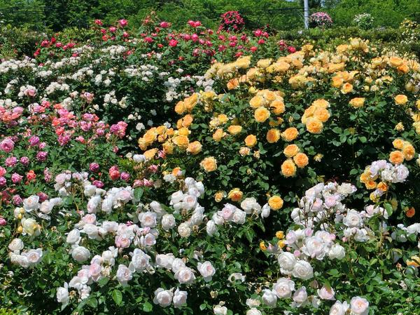 Розе, которая набралась за лето сил, никакие холода не страшны