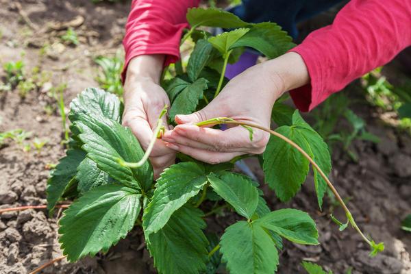 Ненужные усы забирают много сил у растений
