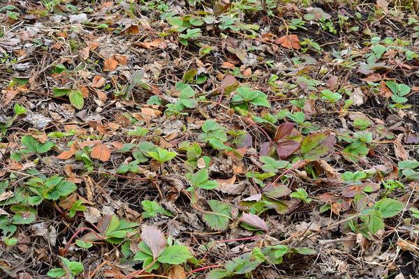 После схода снега нужно удалить с грядки все отмершие листья