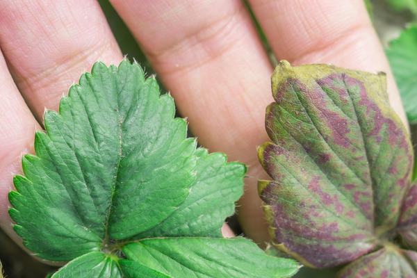 К осени число пораженных болезнями листьев резко увеличивается
