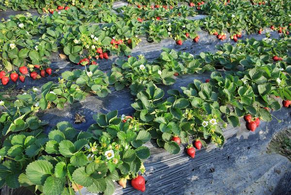 Клубника растет и плодоносит на одном месте несколько лет подряд