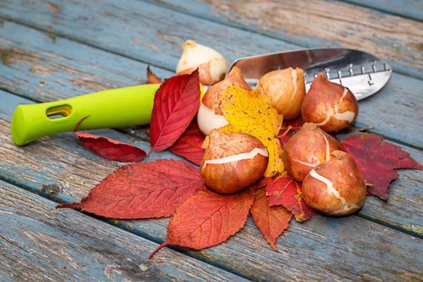 Не забудьте посадить осенью луковичные цветы