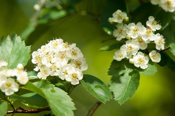 Весной перед цветением рекомендуется удобрить боярышник