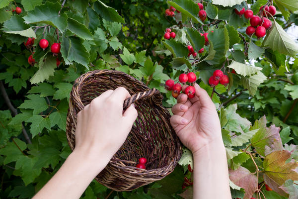 Плоды боярышника собирают, когда они красные и зрелые