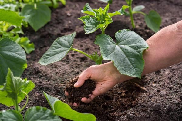 Молодой компост можно пустить на мульчирование овощных грядок