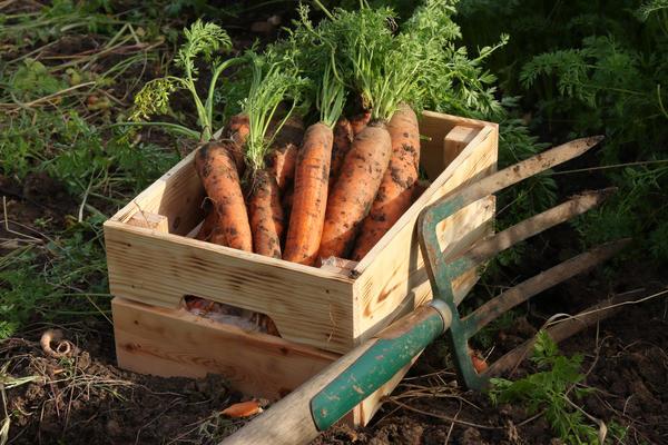 В крайних случаях морковь подкапывают вилами