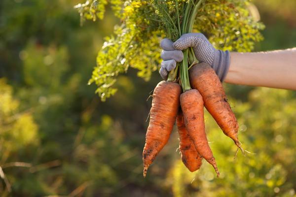 Хороший урожай моркови - бальзам на сердце огородника