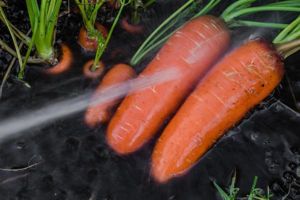 Не стоит мыть морковь, если вы не уверены, что сможете её качественно высушить