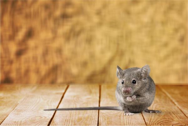 На мышей можно воздействовать ультразвуком