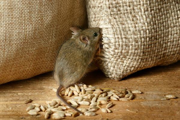С приходом холодов мыши устремляются в наши жилища