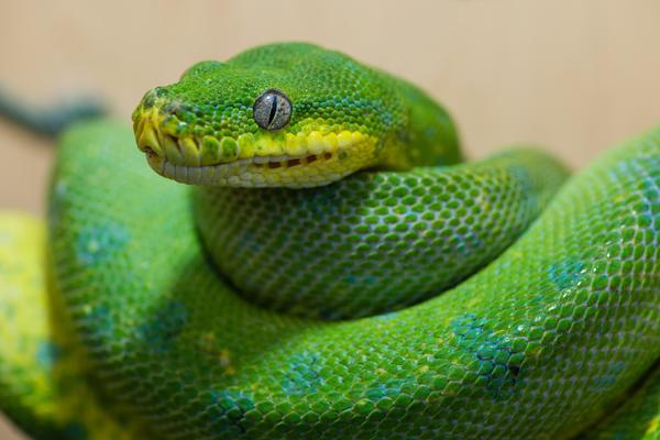 Заводить змею необязательно, достаточно раздобыть ее фекалии