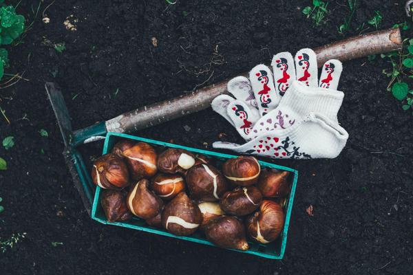 В первой половине осени нужно высадить луковицы тюльпанов