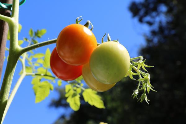 Почти все процессы в жизни растения регулируются фитогормонами