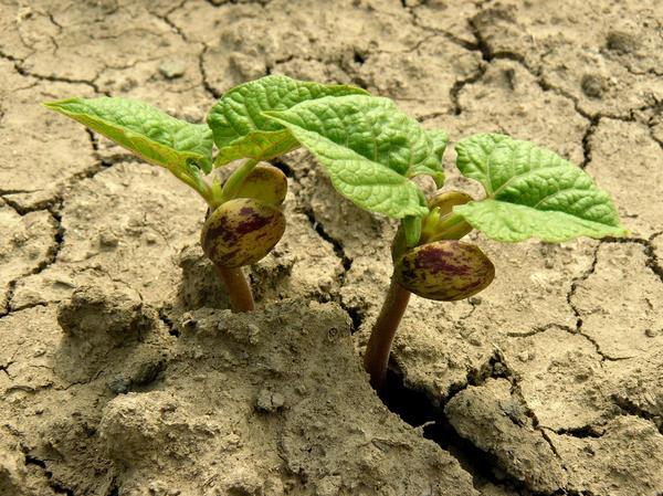 Обработка растения АБК повышает его устойчивость к неблагоприятным условиям