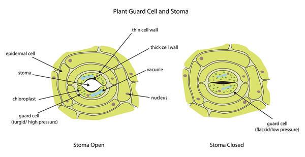 Закрытие устьиц листа под влиянием абсцизовой кислоты