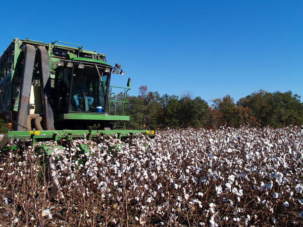 Этилен используют в качестве дефолианта на плантациях хлопчатника для облегчения машинной уборки