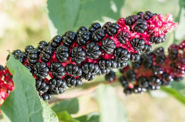 В зрелых плодах лаконоса обнаружено высокое содержание ядовитых веществ