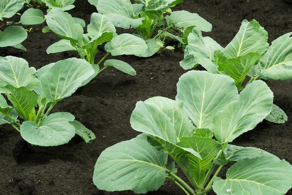 Посев капусты под зиму - авантюра или эффективный метод?