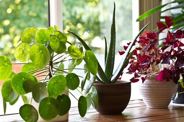 Некоторые комнатные растения наделены особыми силами