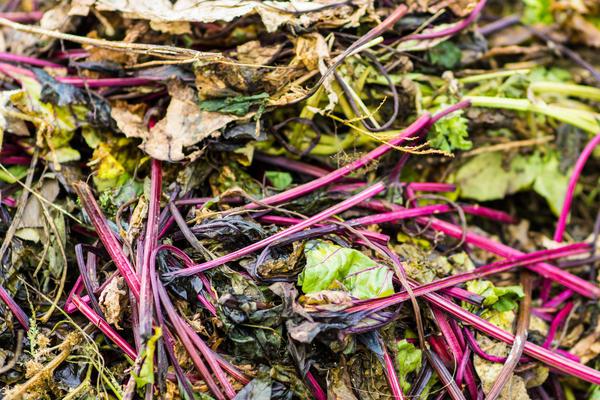 Ботва от больных овощей, оставленная на участке, угрожает будущему урожаю