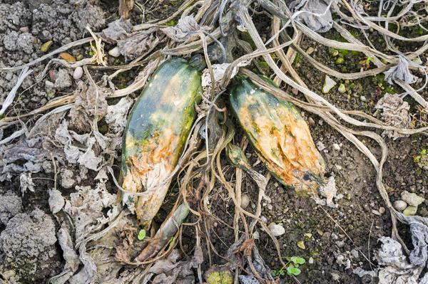Не стоит оставлять на грядках гнилые овощи