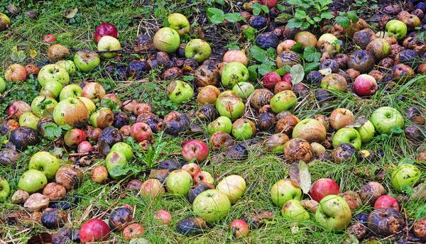 Падалицу фруктов можно закопать на овощных грядках