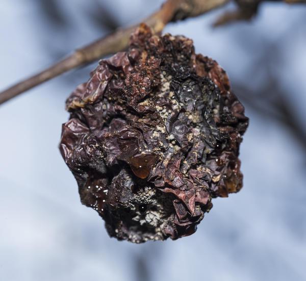 С деревьев необходимо снимать все мумифицированные плоды
