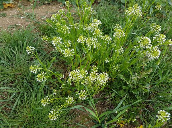 Многие сорняки продолжают активно размножаться до глубокой осени