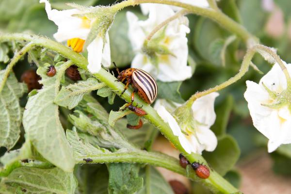Мука из скорлупы поможет справиться с нашествием колорадского жука