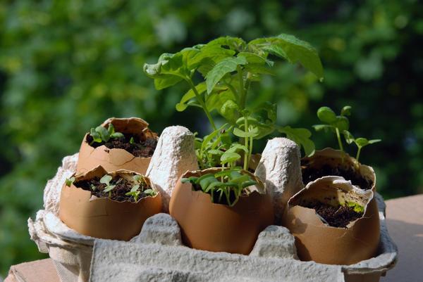 В яичных скорлупках можно выращивать рассаду