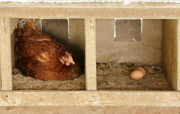 В скорлупе домашних яиц полезных соединений больше