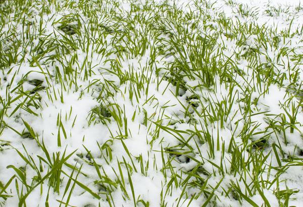 Посеянные под зиму сидераты не скашивают