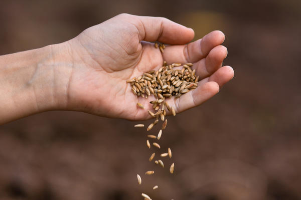 Сидераты высевают весной, летом или осенью