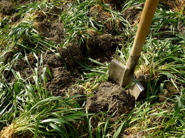 Сидераты используют в качестве зеленого удобрения
