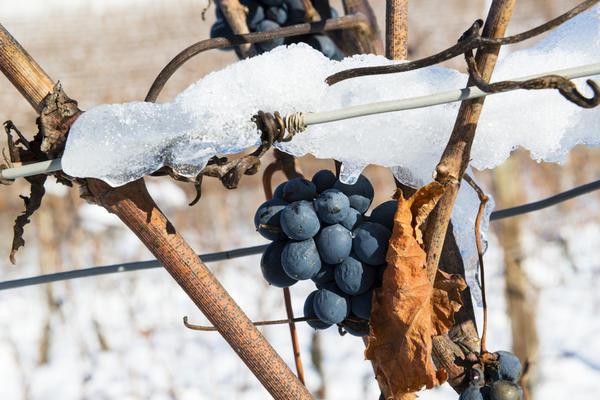 Как уберечь лозу от вымерзания?