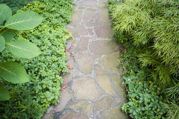 Пахизандра - тенелюбивое почвопокровное растение