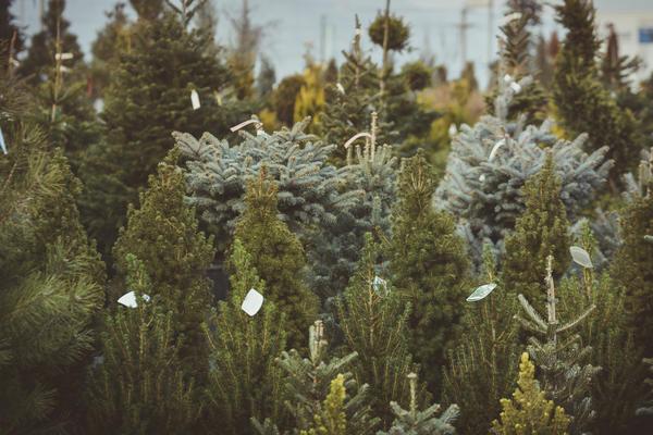 В качестве новогоднего атрибута можно использовать самые разные деревца